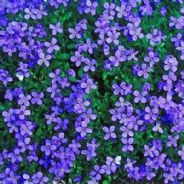 Aubrieta Royal Blue Appx 250 seeds